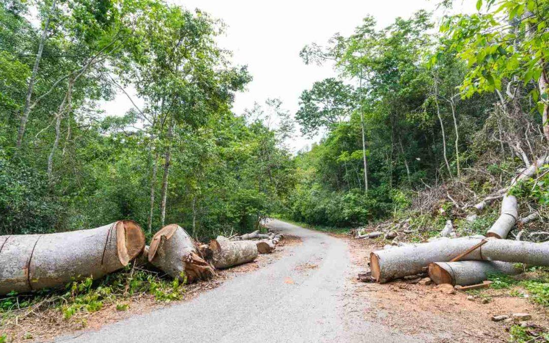 El poder de la tala de Madera Pino Radiata y Oregón ilegal en el Perú