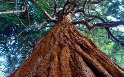 Maderera Andina: Pino Radiata, las ventajas de la mejor Madera